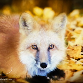 Autumn-Fox-AmandaLakeyArt.com