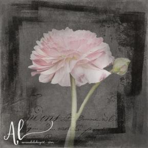 Flue-d'Armour-French-Ranunculus-AmandaLakeyArt.com
