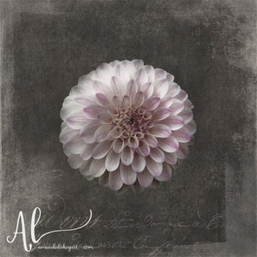 Fluer-d'Armour-Dahlia-AmandaLakeyArt.com