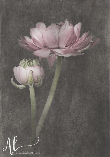 Fluer-d'Armour---Ranunculus & Bud -AmandaLakeyArt.com