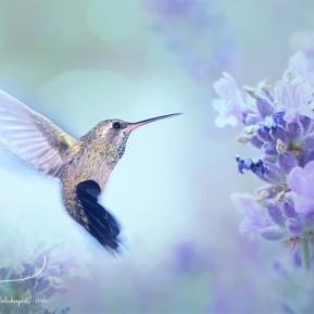 Hummingbird-Dreams-AmandaLakeyArt.com