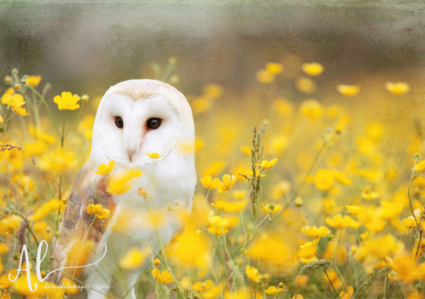 Meadow-Owl-AmandaLakeyArt.com