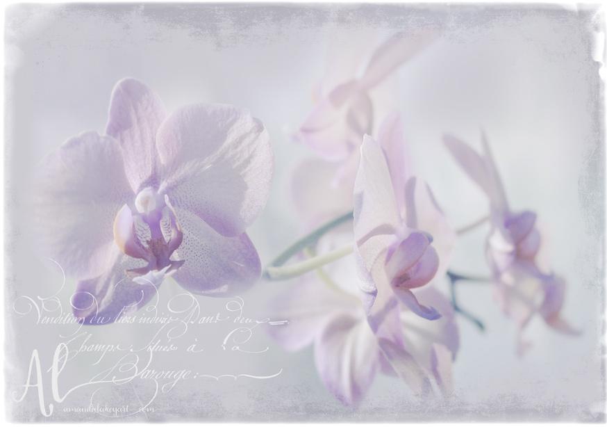 Orchid-Dreams-AmandaLakeyArt.com