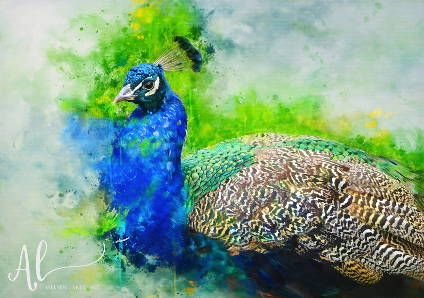 Painted-Peacock-Amanda-Lakey