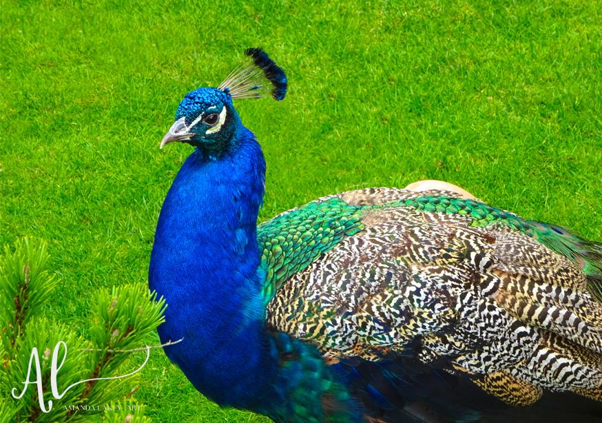 Painted-Peacock-Photograph-Amanda-Lakey