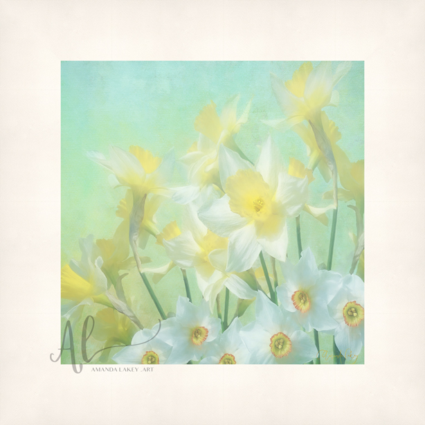 Spring-Daffodils-WEB-Amanda-Lakey